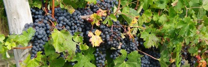 grappe de raisin vignes de valeyrac